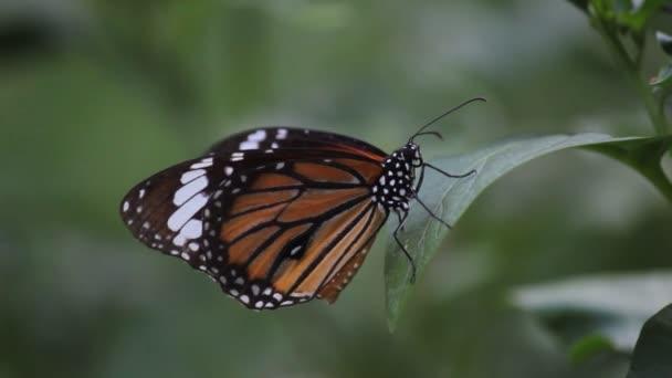 Videozáznam panovníka motýla sedícího na květinové rostlině