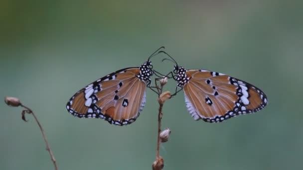 Videozáznam obyčejného tygřího motýla, který sedí na květinové rostlině a krmí se v přírodním prostředí