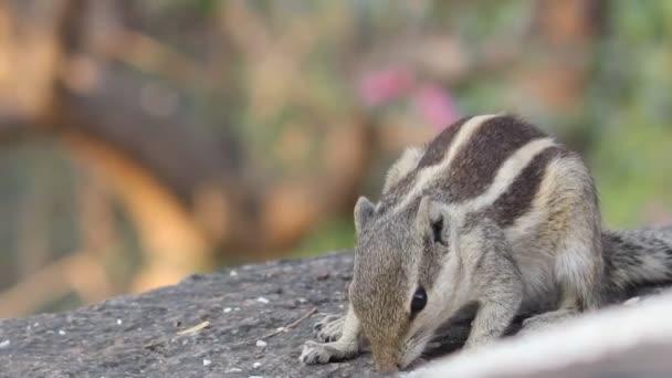 A videofelvétel egy mókus a természetes élőhelyükön.