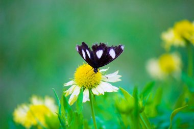 Beautiful Portrait of an Eggfly Butterfly sitting  on the Flower in a soft green background