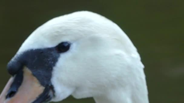 Cesky Krumlov, Česká republika - 9. května 2018: Bílá labuť. Detail Bílá labuť. Swan plave podél řeky