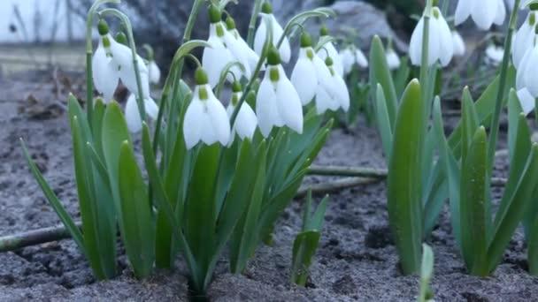 Sok hóvirág tavasszal virágba. Virágos galantusy csapkodott a szélben. Virágok hóvirág közelről.