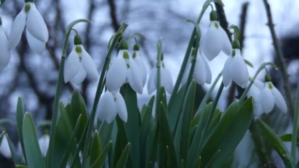 Mnoho sněženky kvetly na jaře. Květinové galantusy vlaje ve větru. Květiny close-up sněženky.