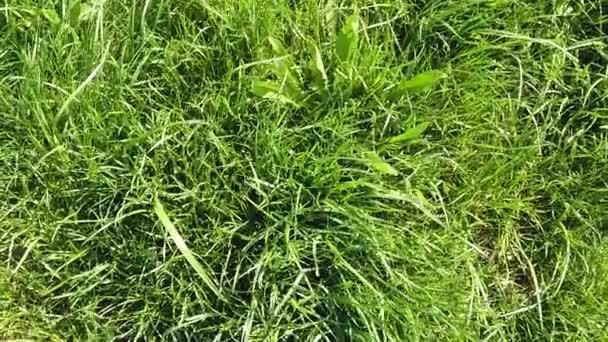 Closeup a fű. Füves gyep közelről.