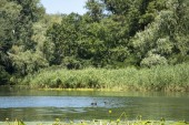a family of ducks coots swim in the river of the Dnieper in Ukraine in the forest