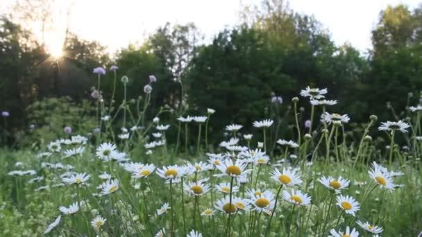 v létě kvetou heřmánkový