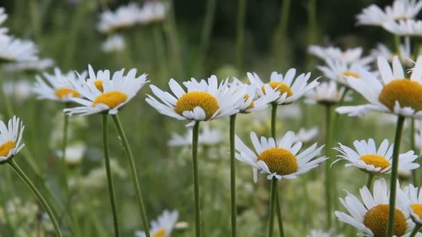 chamomile flowers bloom in summer