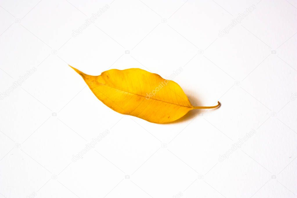 yellow leaf officus benjamina isolated on white background
