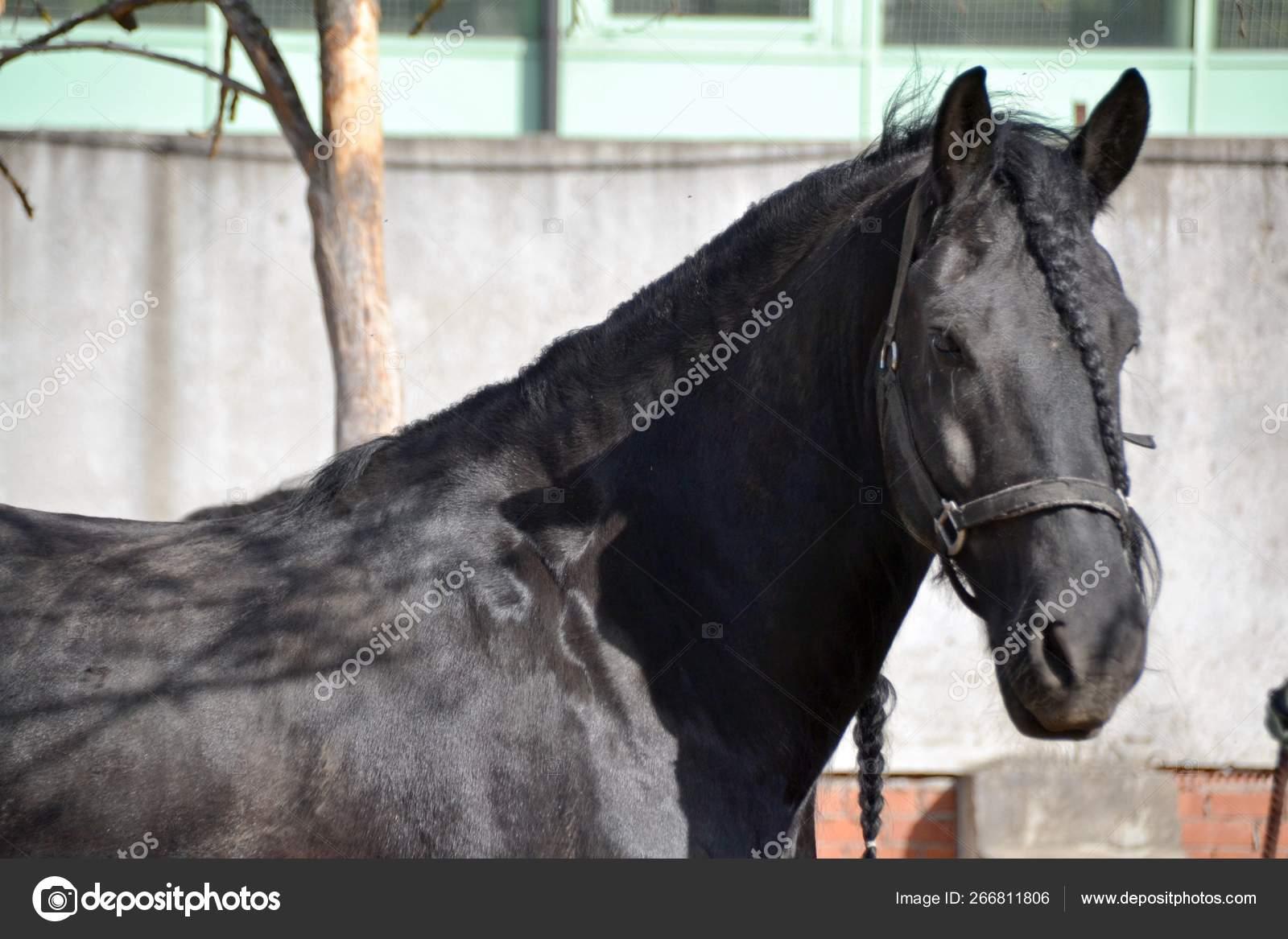 Big Black Horse Friesian Breed Stock Photo C Danio69 266811806