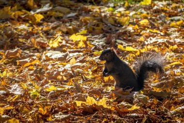 Black Squirrel swith a nut on the mouth between the  autumn leav