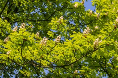 Flowering chestnut tree on a sunny day
