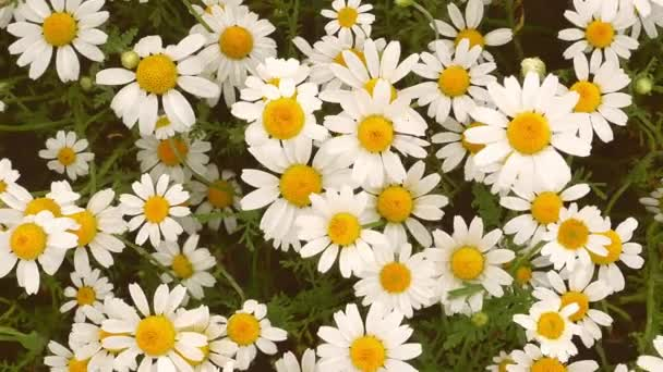 White daisies wildflowers sway in the wind. Meadow. Admire the view. Petal. Leaves. Wild vegetation. Wind. Background image. Video.