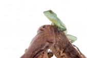 Green reptile isolated on white background
