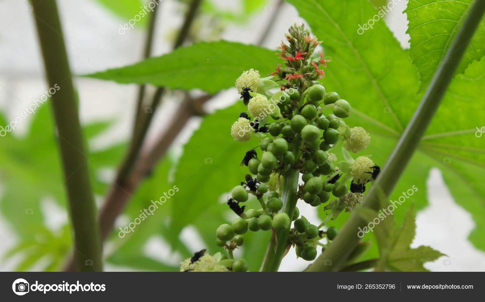 Castor Bean Castor Oil Plant Ricinus Communis Inflorescence Male Female Stock Photo C Reyesphoto 265352796