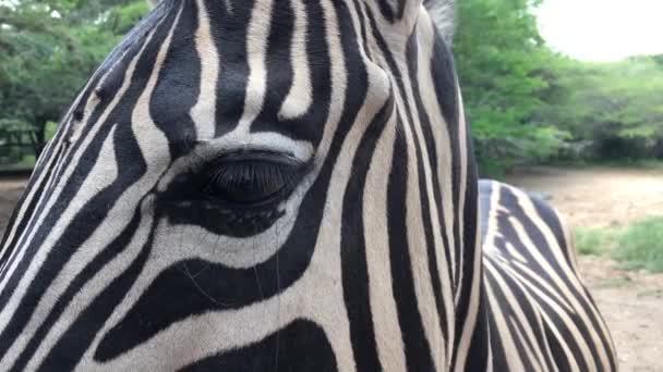 zebra v zajetí v zoologické, v africké oblasti.