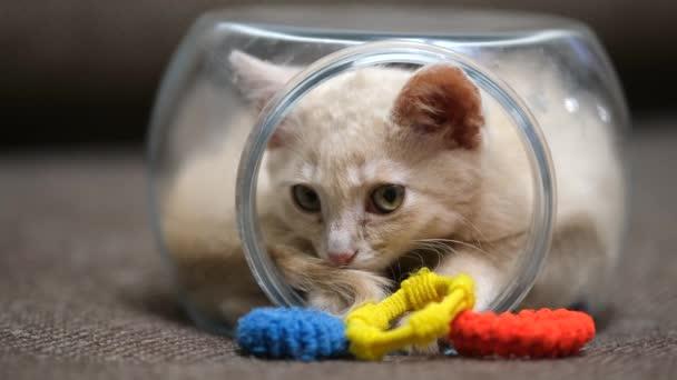 Ein kleines pastellfarbenes Kätzchen krabbelt in ein kleines Glasaquarium und schläft ein.