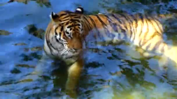 Bengal Tiger ruht in klarem Wasser