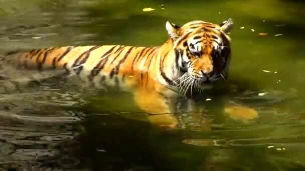 Tierwelt, Tiger im Wasser ruhen