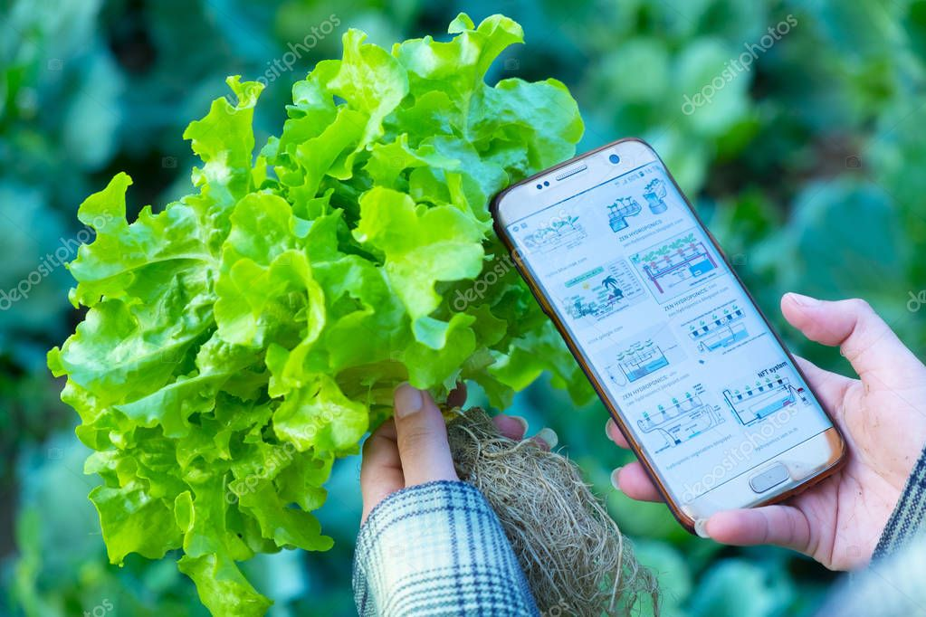 farmer observing some charts growth vegetable filed in mobile phone, hydroponic Eco organic modern smart farm 4.0 technology concept, Agronomist in Agriculture Field read a report