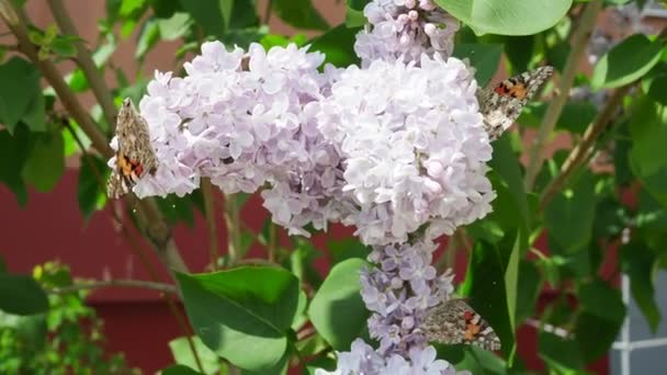 Beautiful view of the blooming lilac Bush in the garden. Butterfly sitting on the delicate lilac flowers. Spring landscape with a bouquet of purple lilac flowers, close-up.