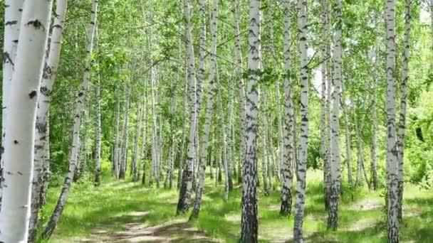 Birch háj za slunečného letního dne, krajinný prapor, obrovské panorama