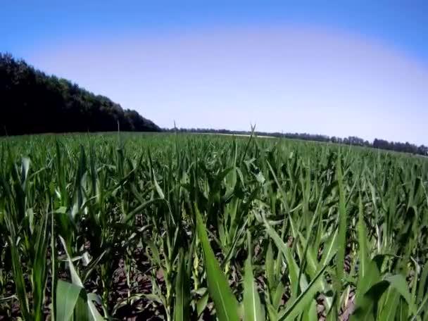 zelené pole kukuřice