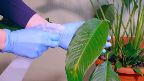 Girl in rubber blue gloves sprays green plants . House cleaning