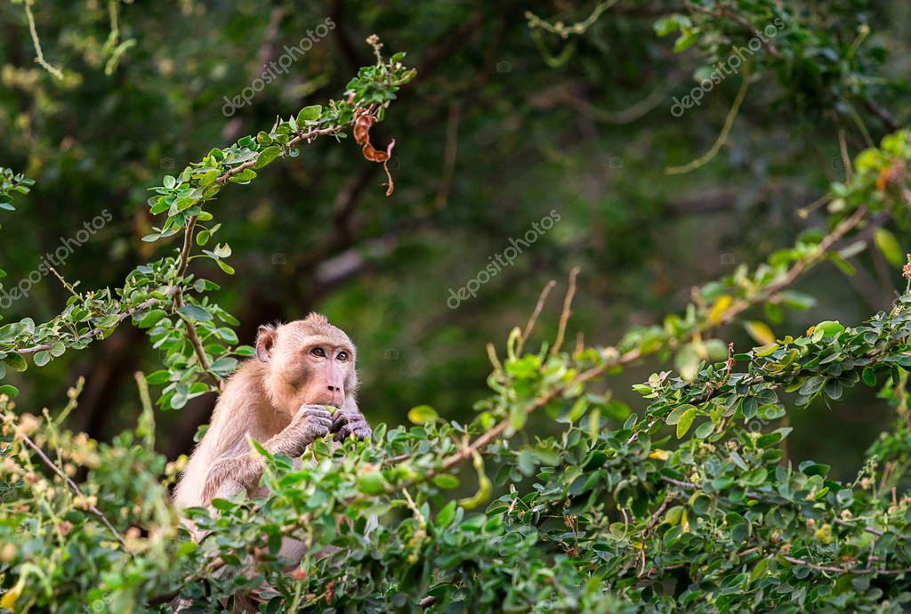 cute monkey eat manila tamarind on manila tamarind tree in forest of Thailand in sunset time