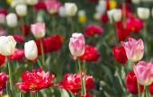 fehér és vörös tulipán.