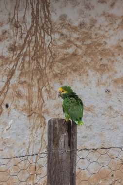 parakeet or tropical parrot that speaks, green and yellow bird