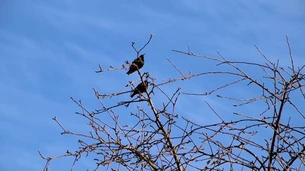 Na jaře vlétli Starlingové domů do svých rodných zahrad, seděli ve stromech a zpívali, radovali se z úspěchu života a byli připraveni postavit hnízdo pro páření a vychovávat mladé potomstvo.