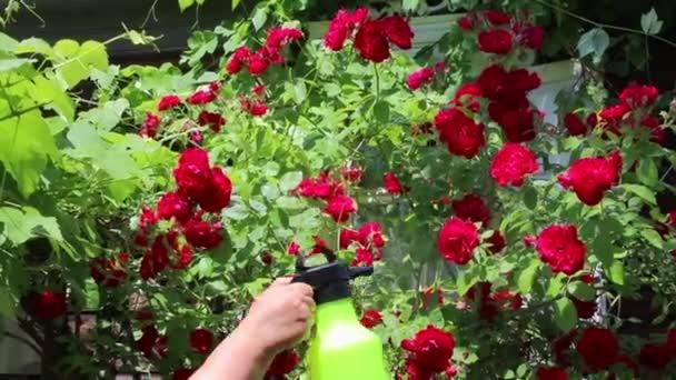 Stříkání růžových květů vodou z postřikovače v zahradě, péče o květiny pro zvlhčující a pozdější život a prosperitu růžových poupat k vyzvedání kytici krásných květin na dovolenou a vychutnávat krásu přírody