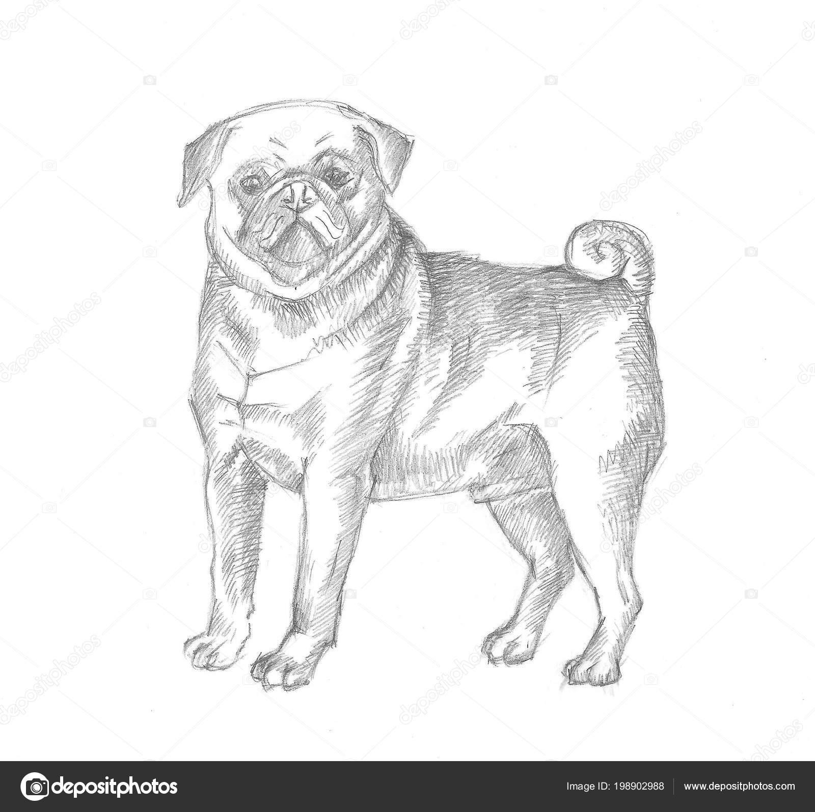 Perro Pug Dibujo A Lapiz Dibujo De Perro Pug Ilustración De