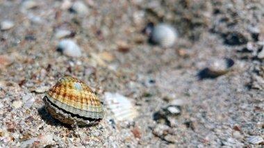 Beautiful seashells. Sea of Azov.