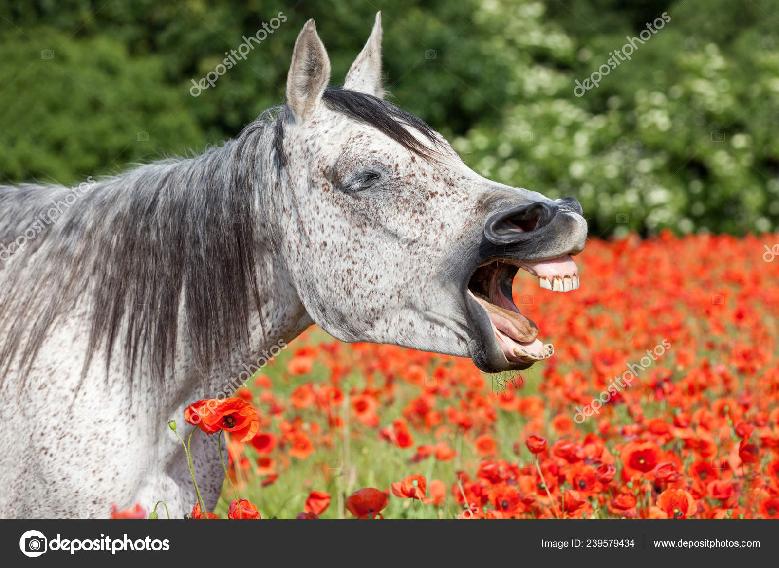 ᐈ Laughing Funny Stock Pictures Royalty Free Laughing Horse Photography Download On Depositphotos
