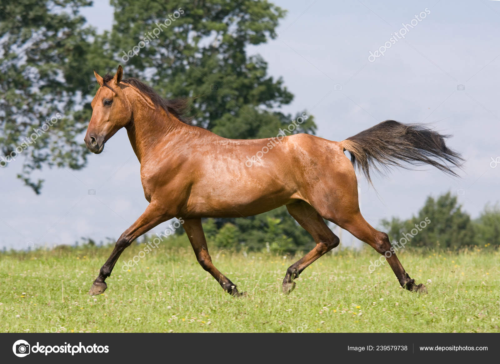 ᐈ Beautiful Horses Stock Pictures Royalty Free Arabian Horse Images Download On Depositphotos