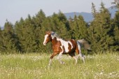 Fotografie Nice young appaloosa horse running