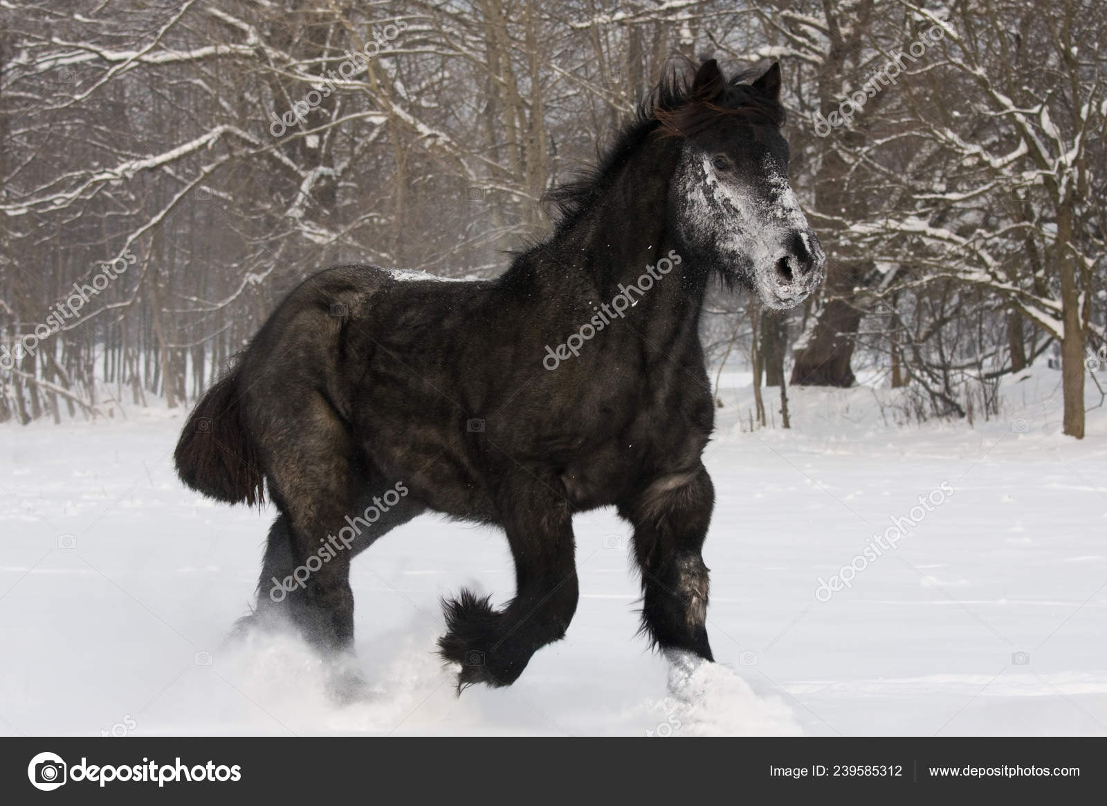 Nice Black Horse Running Stock Photo C Lenkadan 239585312
