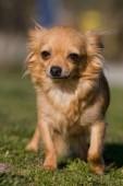 Fényképek Szép chihuahua kutya portréja