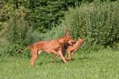 Due belle pharaoh hound dog in esecuzione
