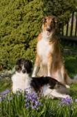 Posing beautiful dogs in garden - Borzoi