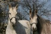 Portrét dvou bílých koní