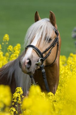 Portrait of stallion horse in the colza field