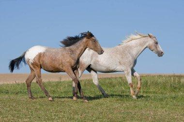 Two beautiful Appaloosa horses running on meadow