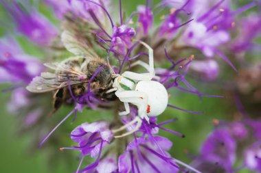 White crab spider eating bee on purple flower. Misutnena vatia