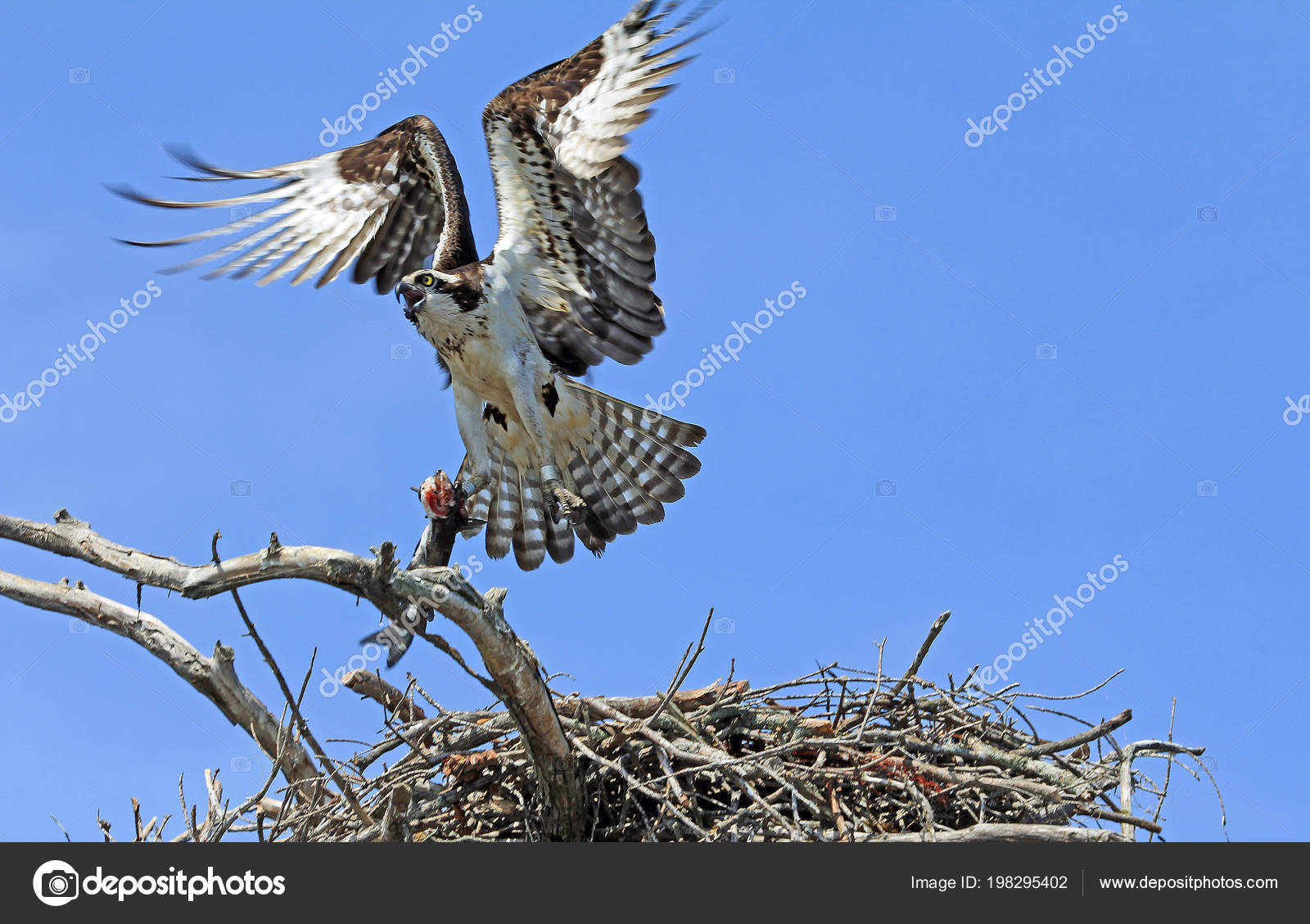 Osprey Taking Fish Reelfoot Lake State Park Tennessee — Stock Photo
