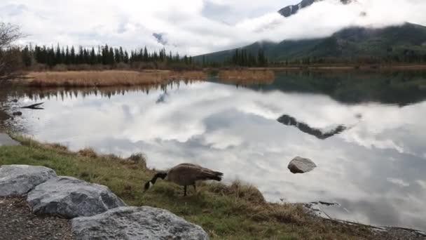 Kanadagans am zinnoberroten See - Banff Nationalpark, alberta, canada