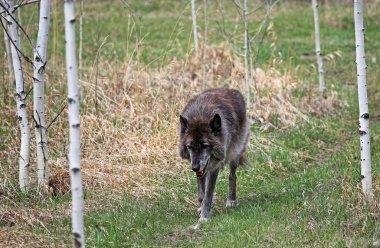 Black wolfdog walking in the forest - Yamnuska Wolfdog Sanctuary, Cochrane, Alberta, Canada