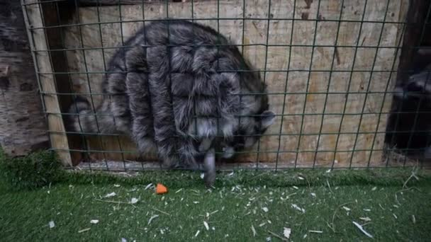 Two raccoons sit in a cage, one stretches his paws through the cage, trying to get a piece of carrot