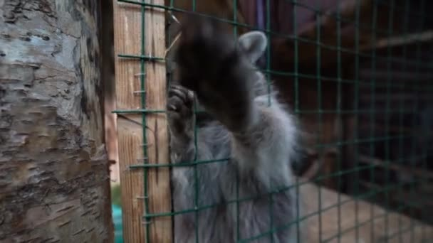 Raccoon / raccoon dog sitting in a cage / enclosure, stretches his paws to the camera, trying to reach the camera